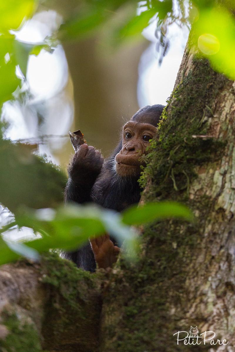 Jeune chimpanzé dubitatif
