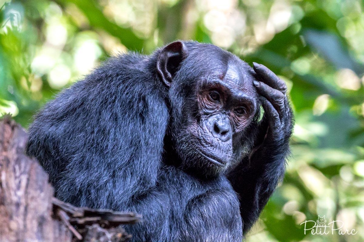 Chimpanzé en pleine réflexion