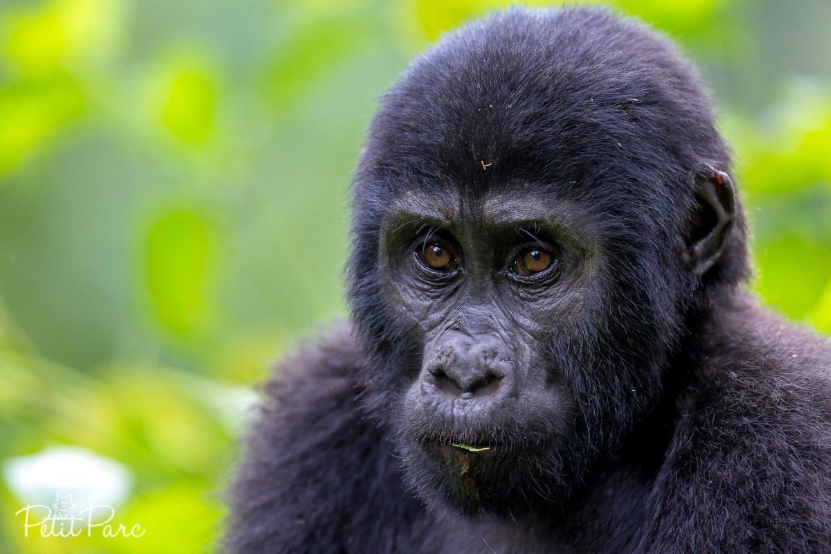 Portrait d'un jeune gorille