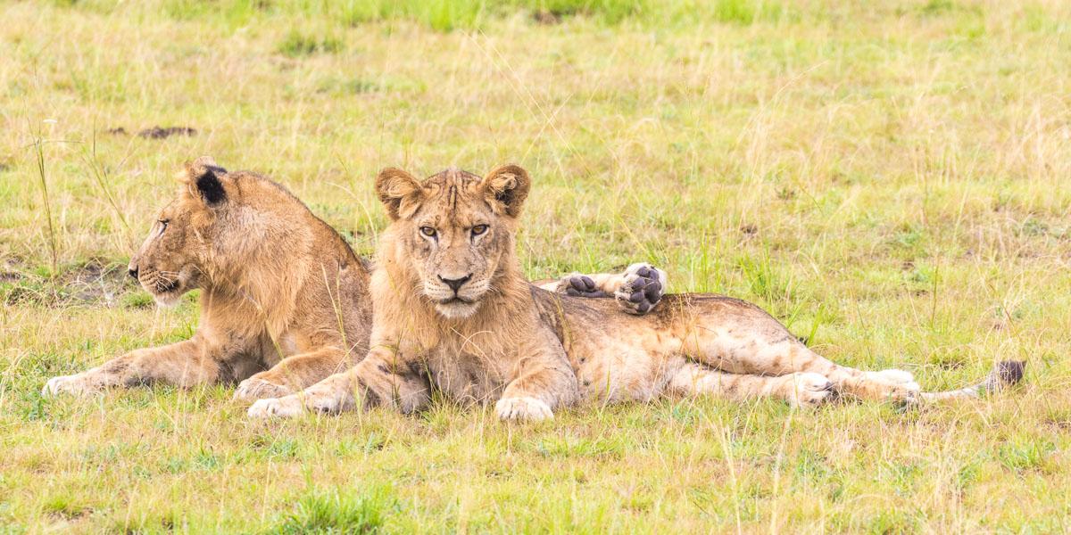 Lionceaux en Ouganda